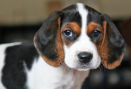 Bagle Ria the Beagle Mix Pictures 266805