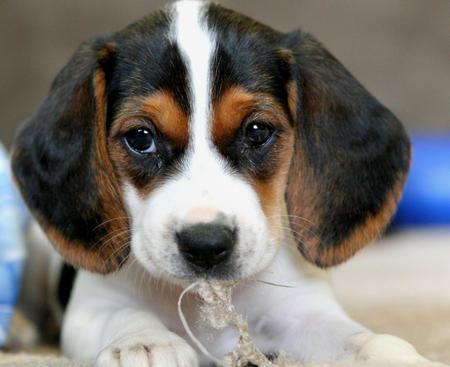 Bagle Ria the Beagle Mix Pictures 266804