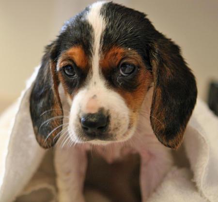 Bagle Ria the Beagle Mix Pictures 266803