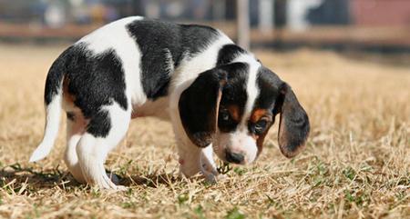 Bagle Ria the Beagle Mix Pictures 266801