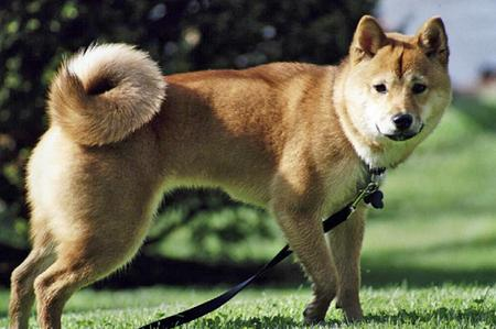 Kyah the Shiba Inu Pictures 267237