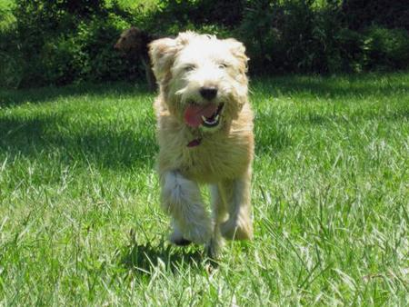 Louie the Soft Coated Wheaten Terrier Pictures 270639