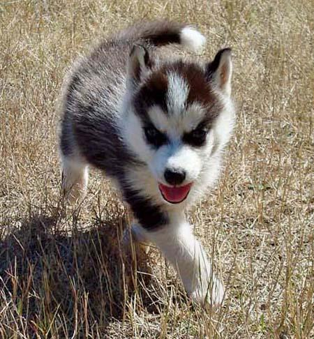 Loki the Siberian Husky Pictures 273596