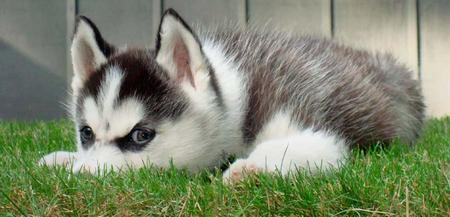 Loki the Siberian Husky Pictures 273595