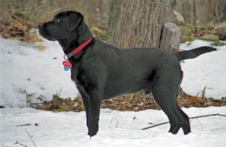 Jud the Labrador Retriever Mix Pictures 312658