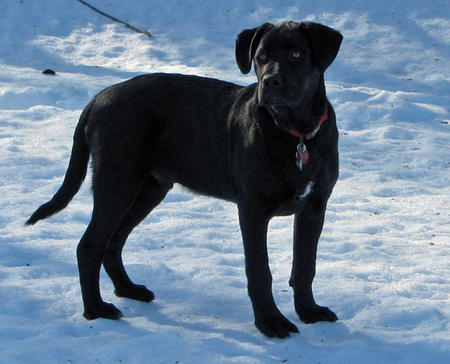 Jud the Labrador Retriever Mix Pictures 312655