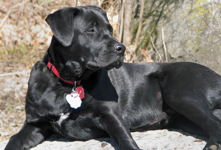 Jud the Labrador Retriever Mix Pictures 312656