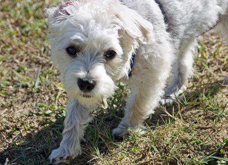 Saffie the Maltese Mix Pictures 311016