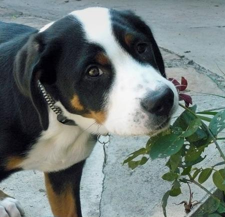 Zeus the Greater Swiss Mountain Dog  Pictures 275281