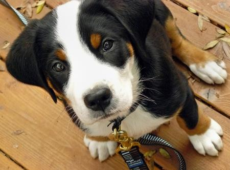 Zeus the Greater Swiss Mountain Dog  Pictures 275280