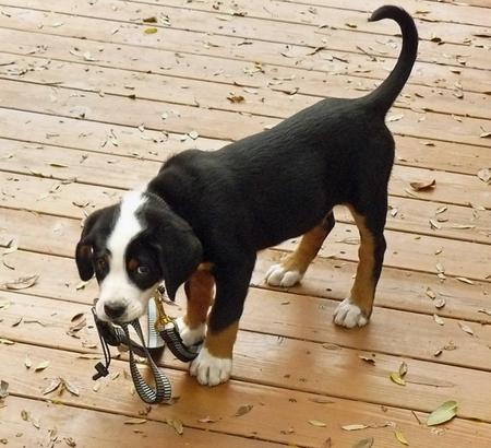 Zeus the Greater Swiss Mountain Dog  Pictures 275278