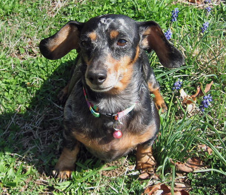 Saddie the Dachshund Pictures 301079