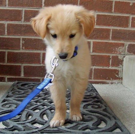 Winston the Golden Retriever Mix Pictures 276981