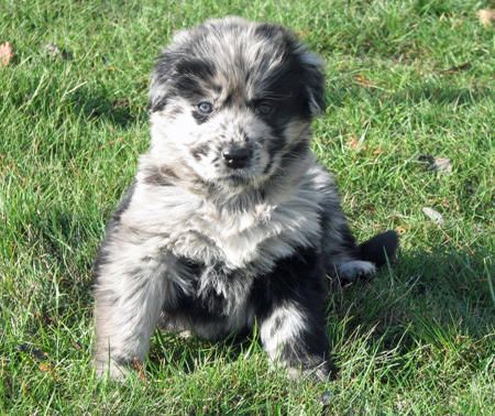 Vindaloo the Australian Shepherd Mix Pictures 311667