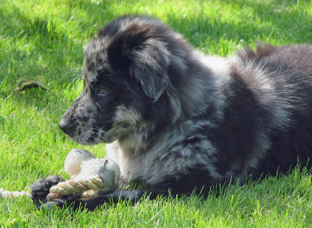 Vindaloo the Australian Shepherd Mix Pictures 311672