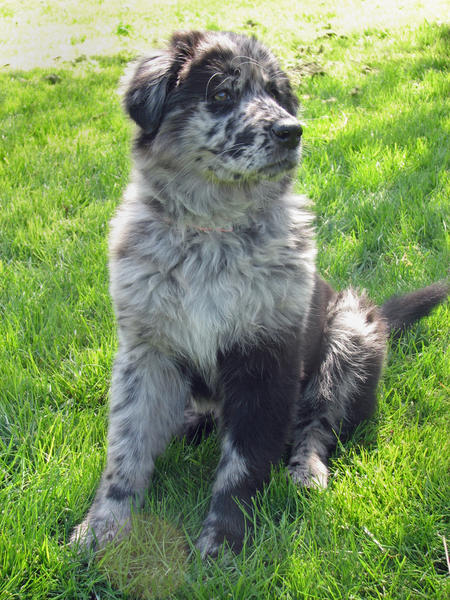 Vindaloo the Australian Shepherd Mix Pictures 311673