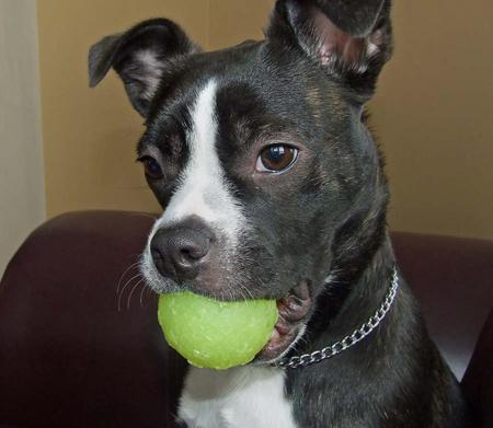 Zora the Boston Terrier Mix Pictures 278767