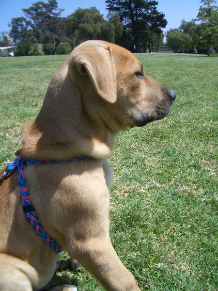 Jack the Rhodesian Lab mix Pictures 21842