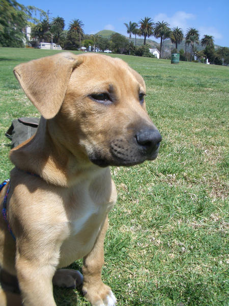 Rhodesian Ridgeback Yellow Lab Mix Images & Pictures - Becuo