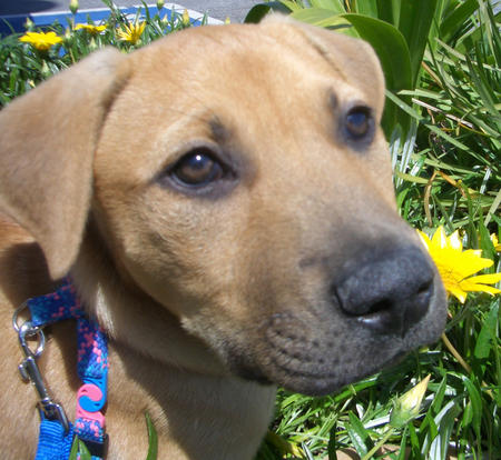 Jack the Rhodesian Lab mix Pictures 21849