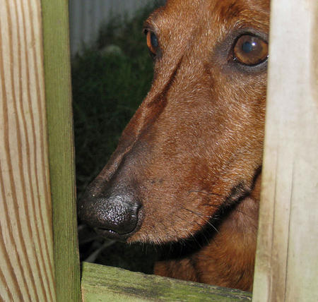 Jack the Dachshund Pictures 320596