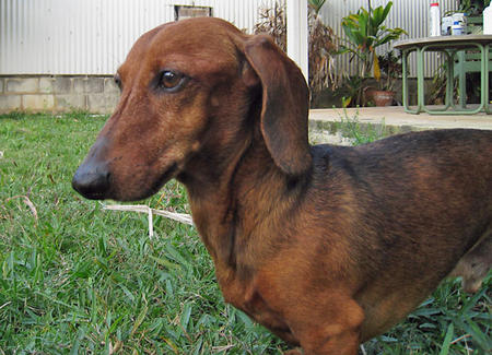 Jack the Dachshund Pictures 320595