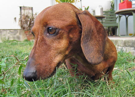 Jack the Dachshund Pictures 320593