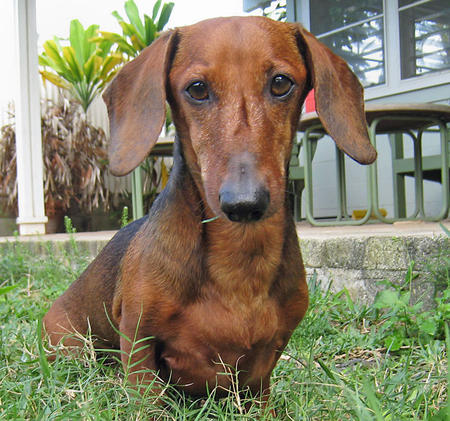 Jack the Dachshund Pictures 320592