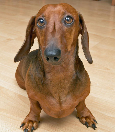Jack the Dachshund Pictures 320590