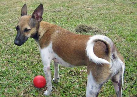 Indiana the Fox Terrier Mix Pictures 28953