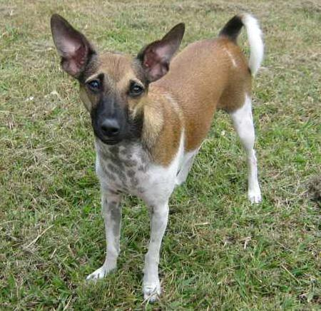 Indiana the Fox Terrier Mix Pictures 28952