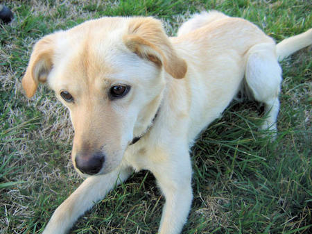 Buttercup the Adoptable Labrador Mix Pictures 305207
