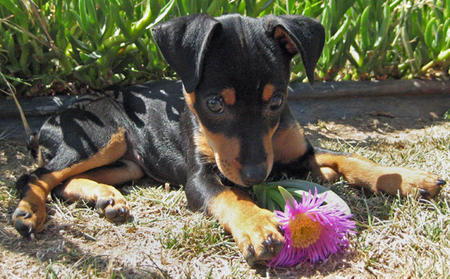 Millie the Miniature Pinscher Pictures 303095