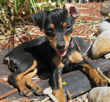 Millie the Miniature Pinscher Pictures 303084