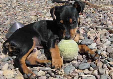 Millie the Miniature Pinscher Pictures 303081