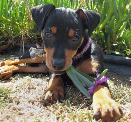 Millie the Miniature Pinscher Pictures 303080