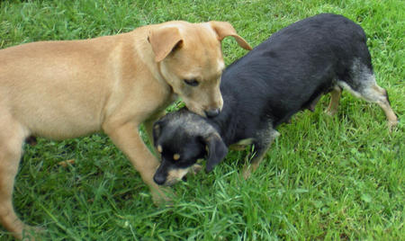 Marley the Adoptable Puppy Pictures 338789