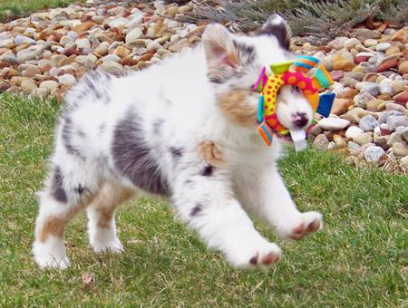 Topaz the Australian Shepherd Pictures 289420