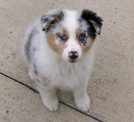Topaz the Australian Shepherd Pictures 289418