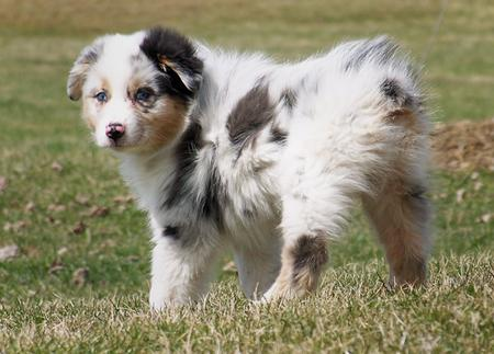 Topaz the Australian Shepherd Pictures 289417