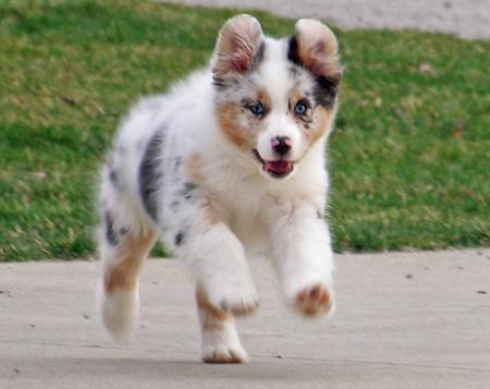 Topaz the Australian Shepherd Pictures 289416