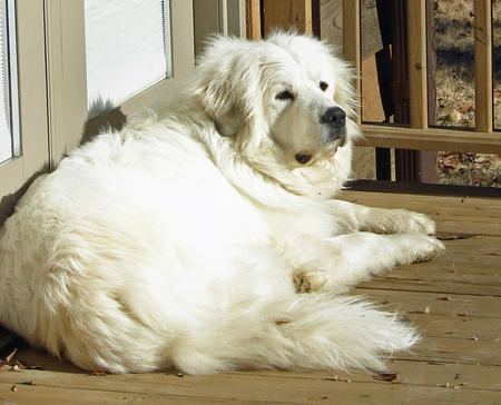 Maximus the Great Pyrenees Pictures 291242