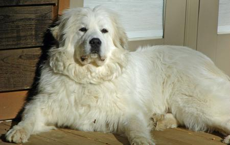 Maximus the Great Pyrenees Pictures 291239