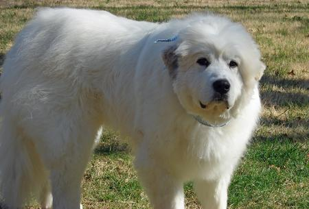 Maximus the Great Pyrenees Pictures 291243