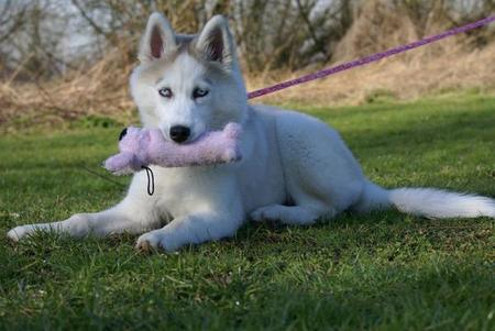 Babooshka the Siberian Husky Pictures 23498