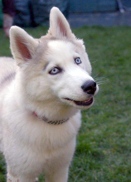Babooshka the Siberian Husky Pictures 23495