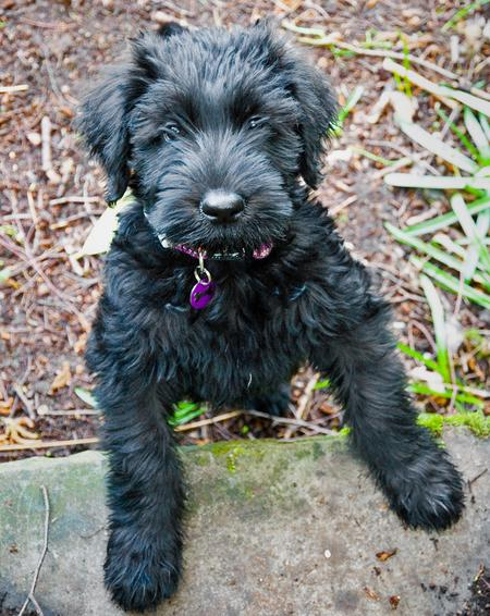 Maggie the Giant Schnauzer Pictures 295202