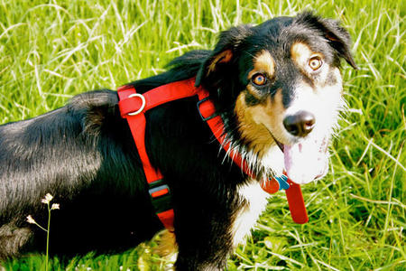 Anders the Bernese Mountain Dog Mix Pictures 381647