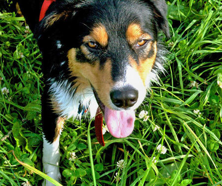 Anders the Bernese Mountain Dog Mix Pictures 381646