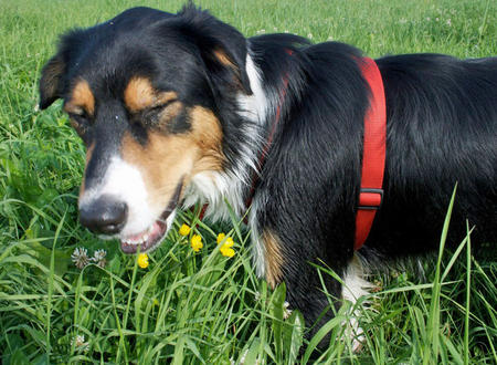 Anders the Bernese Mountain Dog Mix Pictures 381645